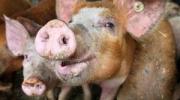 Диагноз АЧС подтвердили ветеринары