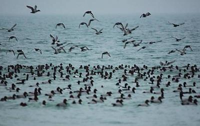 В «Тузловские лиманы» прилетели тысячи птиц