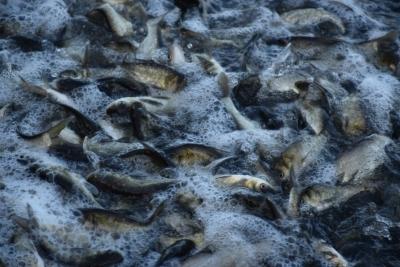 В водоёмы Одесщины вселили 120 тонн молоди рыб