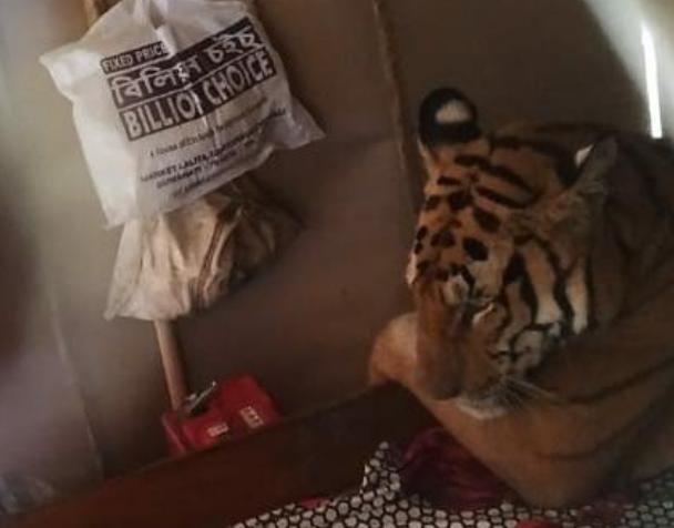 Тигрица пробралась в дом и сладко заснула