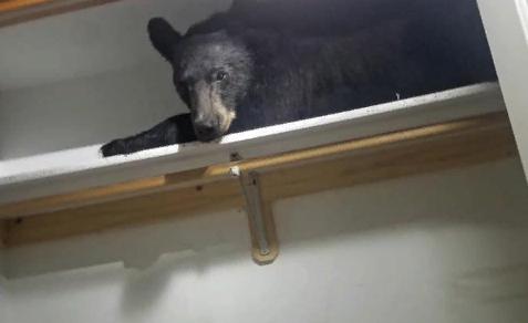 Медведь залез в дом и улегся спать в шкафу: курьезные фото