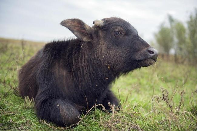 На острове Ермаков в появился на свет детеныш водяного буйвола