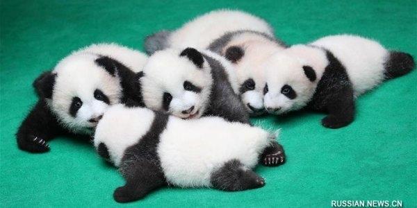Огромная доза ми-ми-ми: в Китае публике показали сразу семь детенышей панды