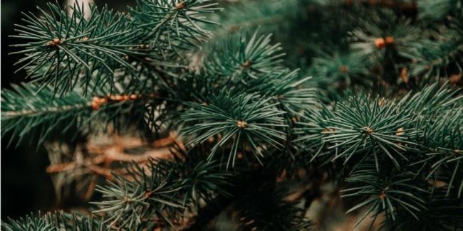 Экологичный выбор. Как выбрать и где купить ёлку на Новый год
