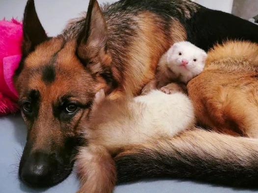 Неожиданная дружба собаки и хорька умилила сеть