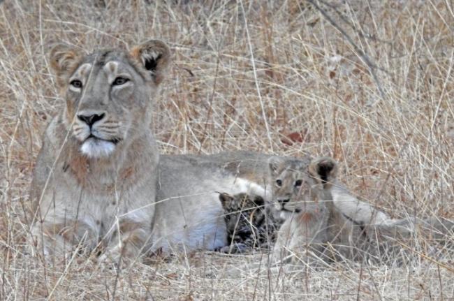 """В Индии львица """"усыновила"""" и выходила больного детеныша леопарда"""