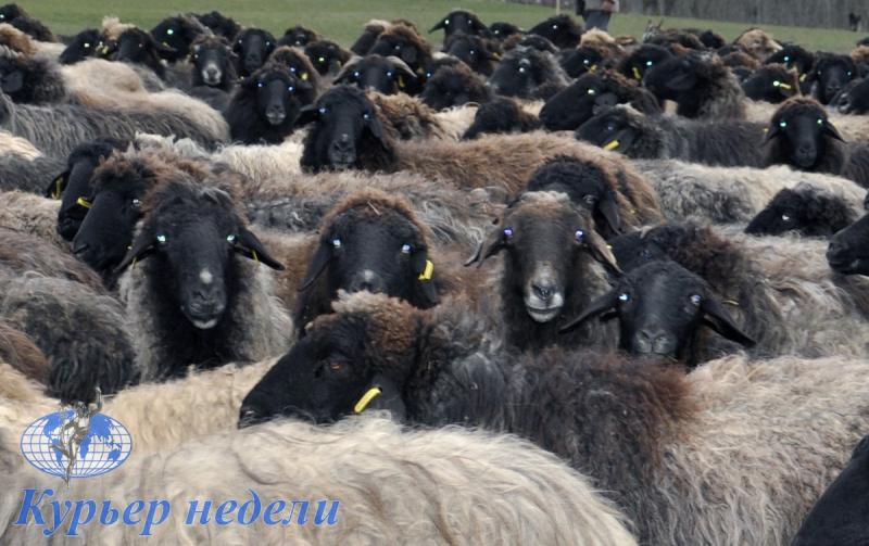 """Древнейшая порода овец - каракульская - во """"Фрумушике-Нова"""""""