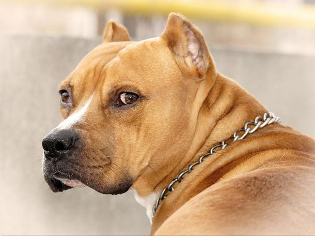 Сорвался с поводка: в центре Одессы бойцовский пес едва не растерзал хозяйскую собаку