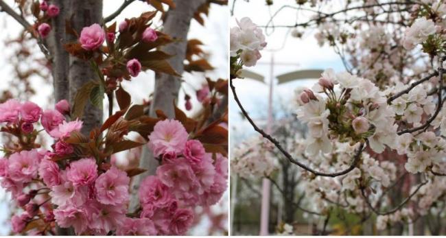 Как в прекрасной сказке сакура цветёт, или ДК заневестился!