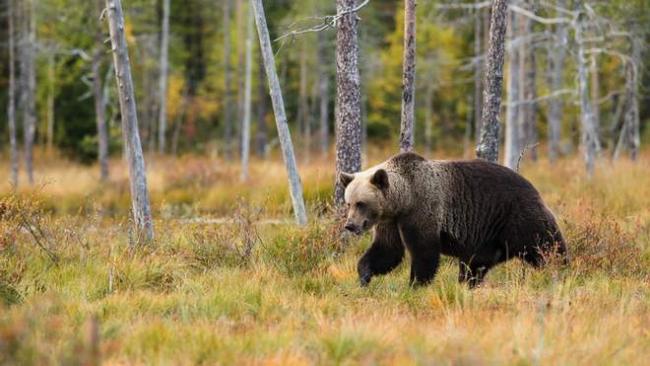 На пробежке с медведем