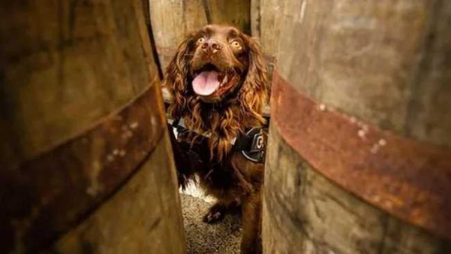 Будет инспектировать деревянные бочки: завод по производству виски нанял на работу собаку