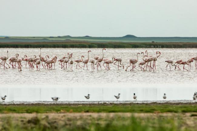 Придунайские водоёмы в Румынии облюбовали розовые фламинго