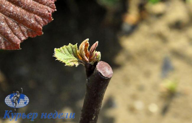 Хлорелла – чудо, возвращающее растения к жизни