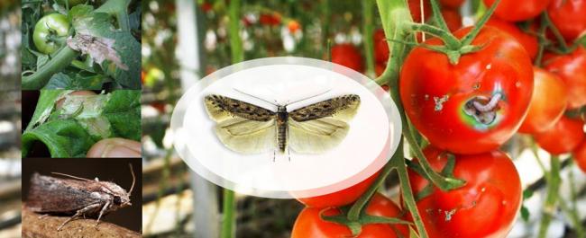 Почему Тута абсолюта (Южноамериканская томатная моль) является карантинным вредителем №1 на томате и как с ней бороться