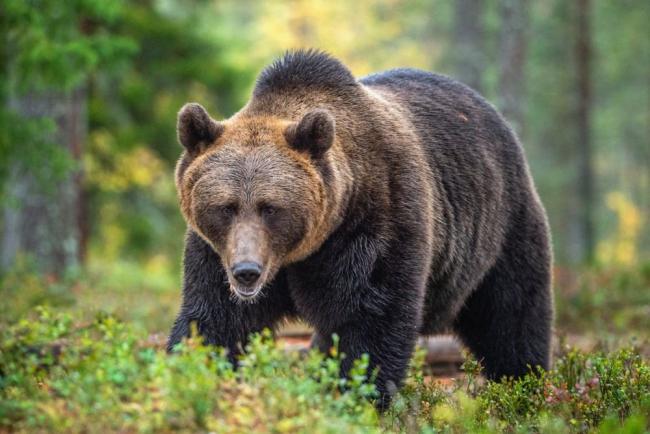В румынском городе поселились медведи