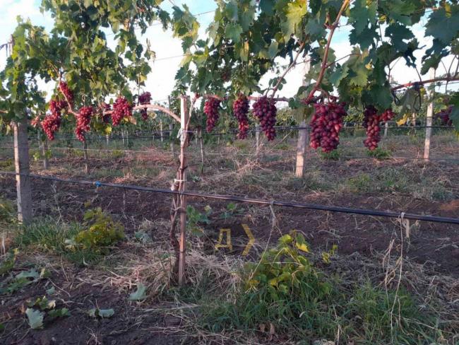 Рекордный неурожай: в Одесской области собрали в шесть раз меньше винограда, чем планировали
